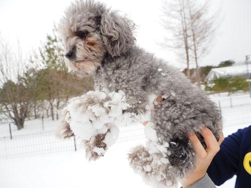犬・雪だま