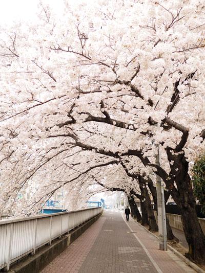桜2015石神井川